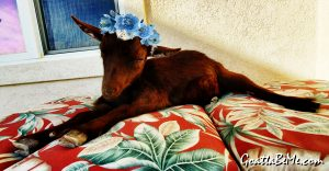 Reddish brown and white baby goat named Java Latte